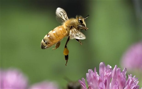 Between 80pc and 90pc of animal pollination of crops comes from domesticated honey bees